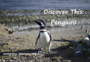 Discovery This: Fairy Penguins